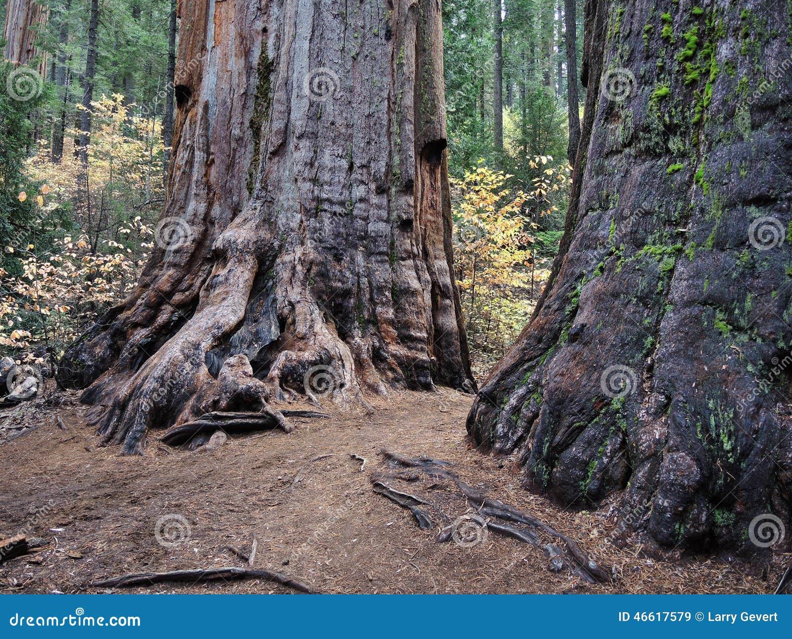 Séquoias géants