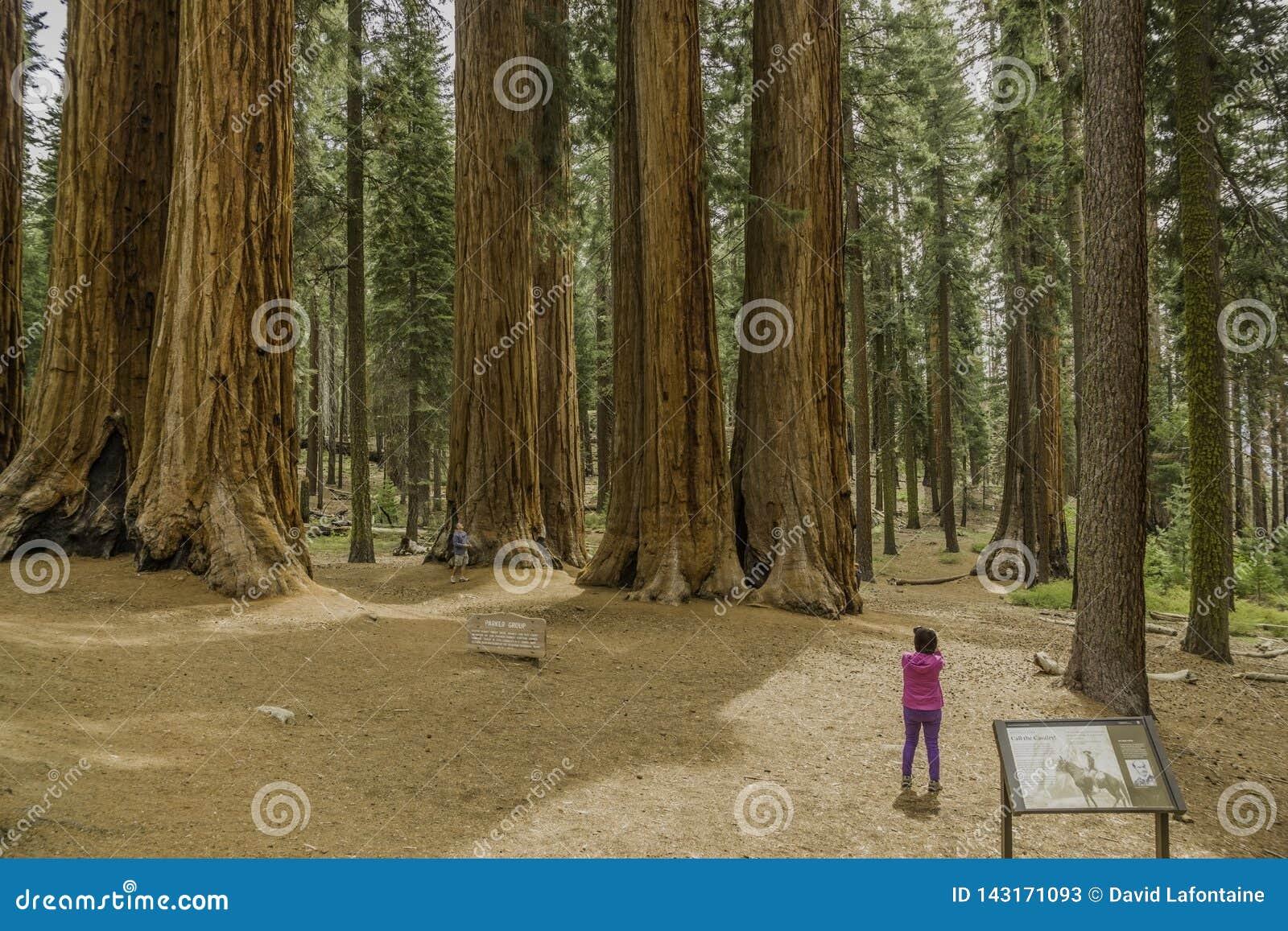 Séquoias géants en parc national de séquoia