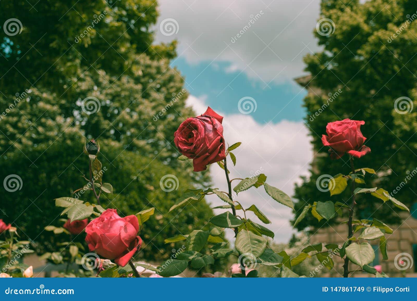 Símbolo de Rose de la pureza
