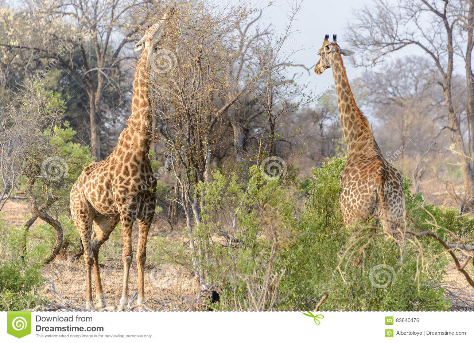 Södra - afrikanska giraff i den Kruger nationalparken, Sydafrika
