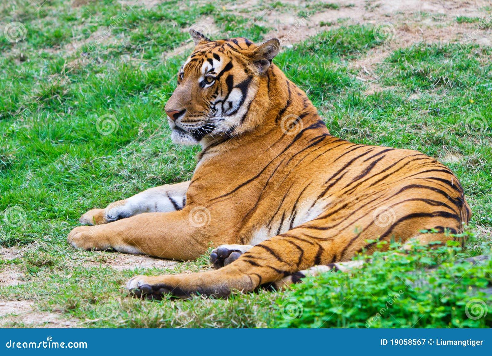 Södra tiger för porslin