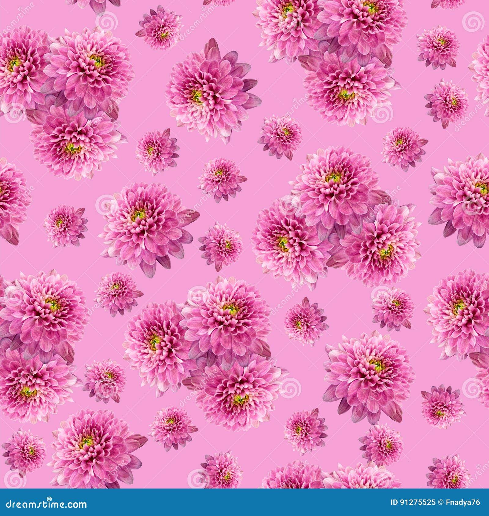 Sömlös oändlig rosa blom- bakgrund för design och printing Bakgrund av naturliga krysantemum