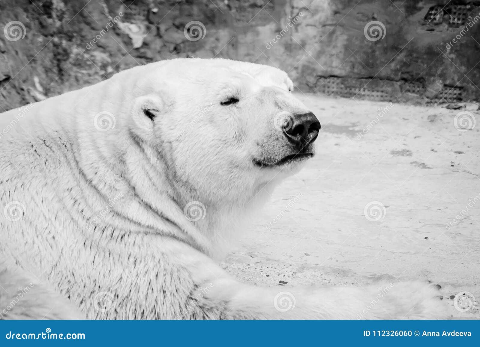 Sömnig isbjörnstående i svartvitt