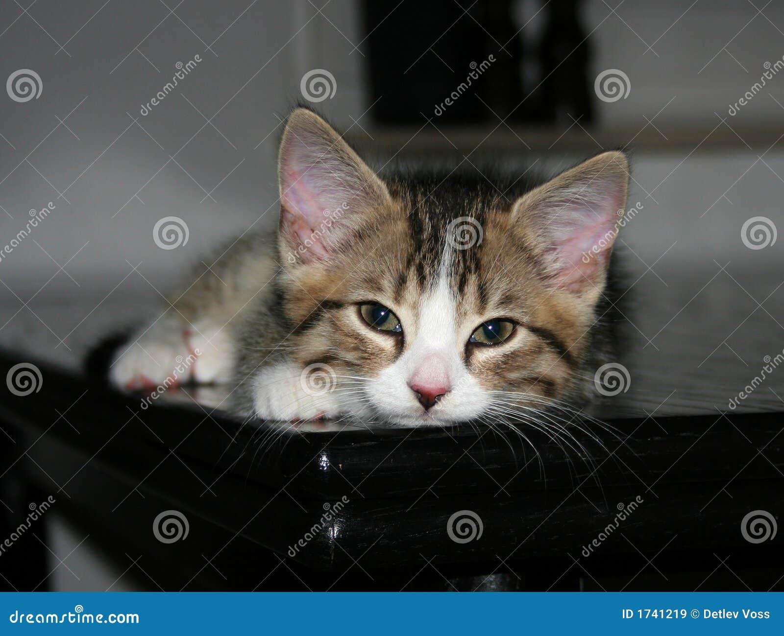 Sömnig kattunge