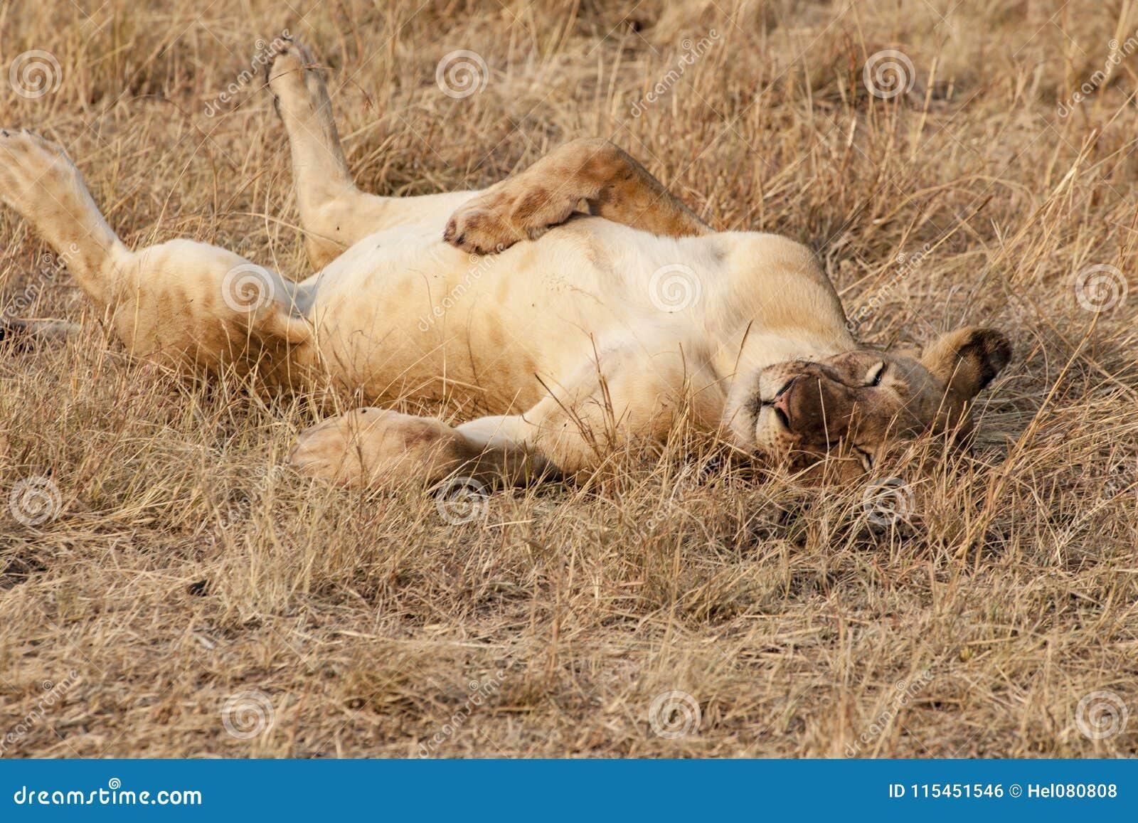 Sömnigt lejon i aftonsol i Serengeti av Tanzania