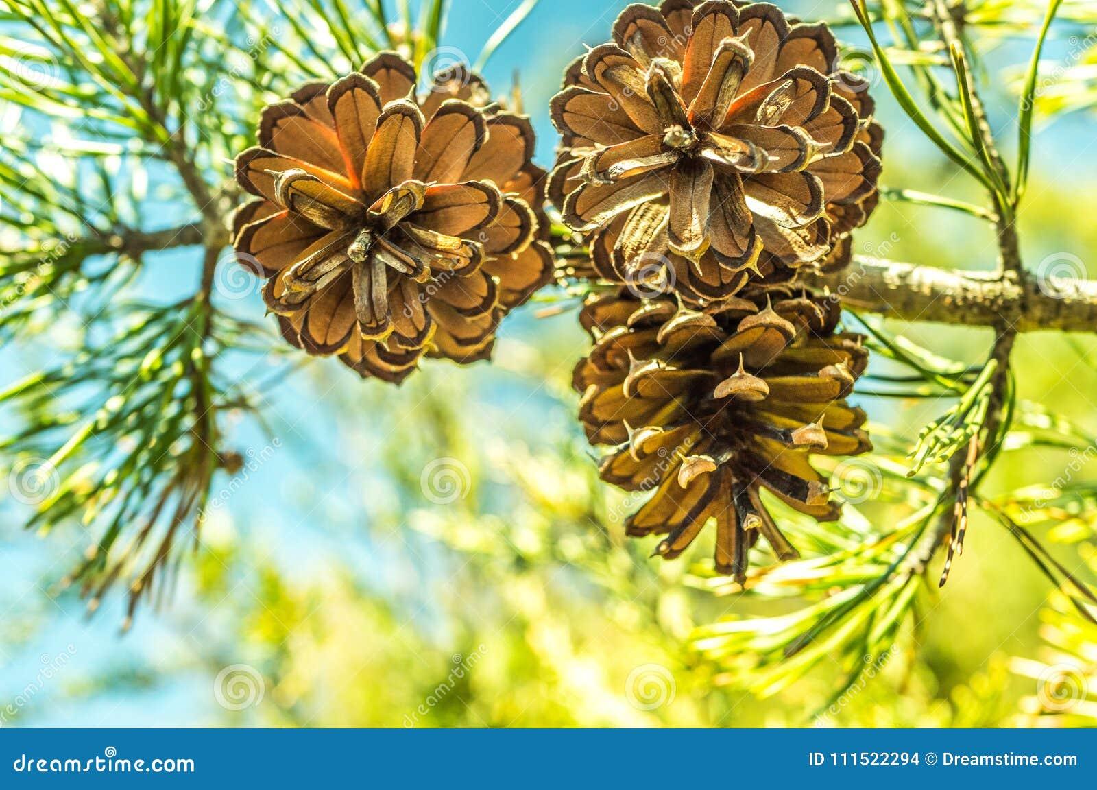 Sörja kottar på träd i en härlig vildmarkinställning