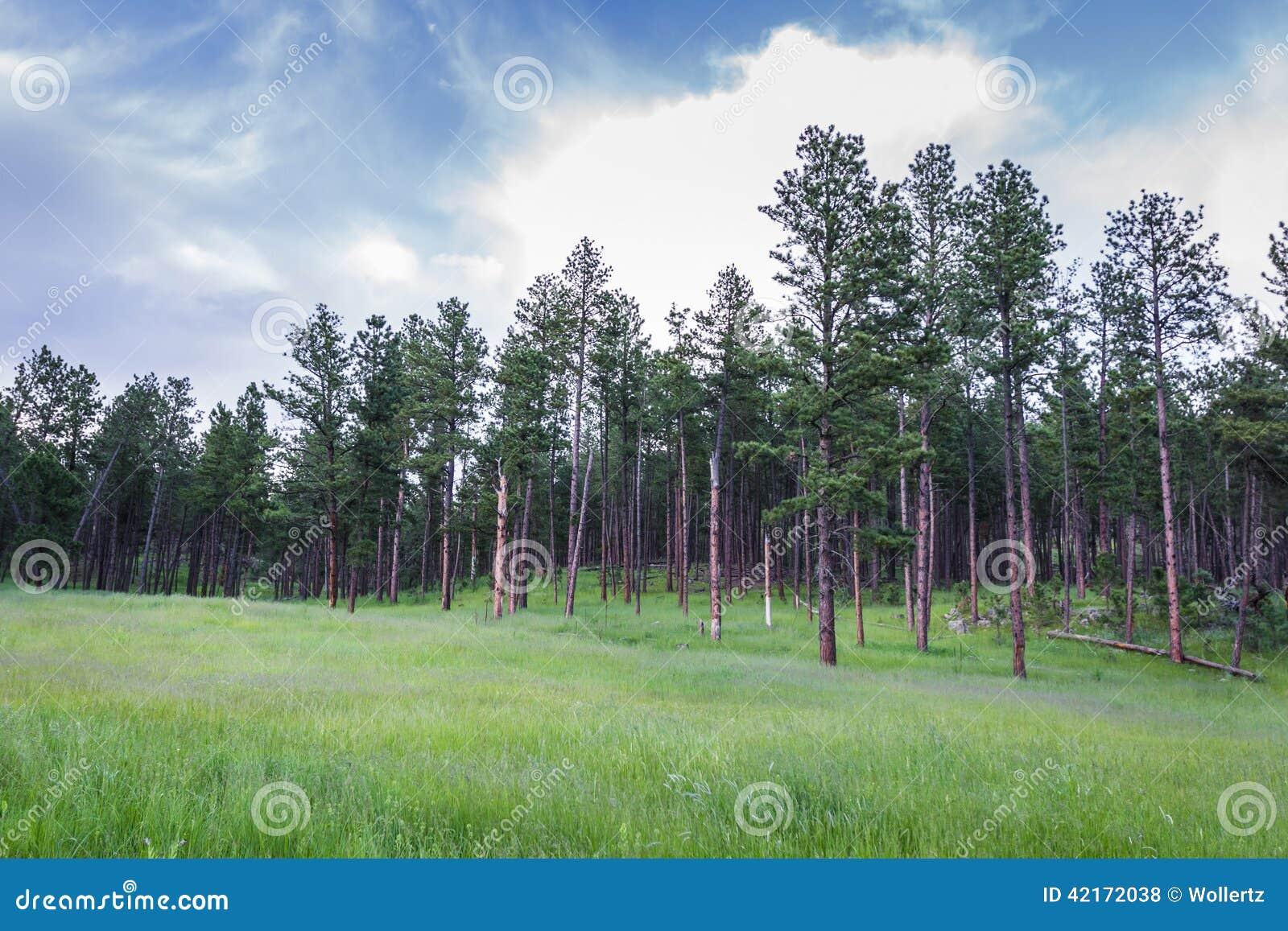 Sörja träd i South Dakota