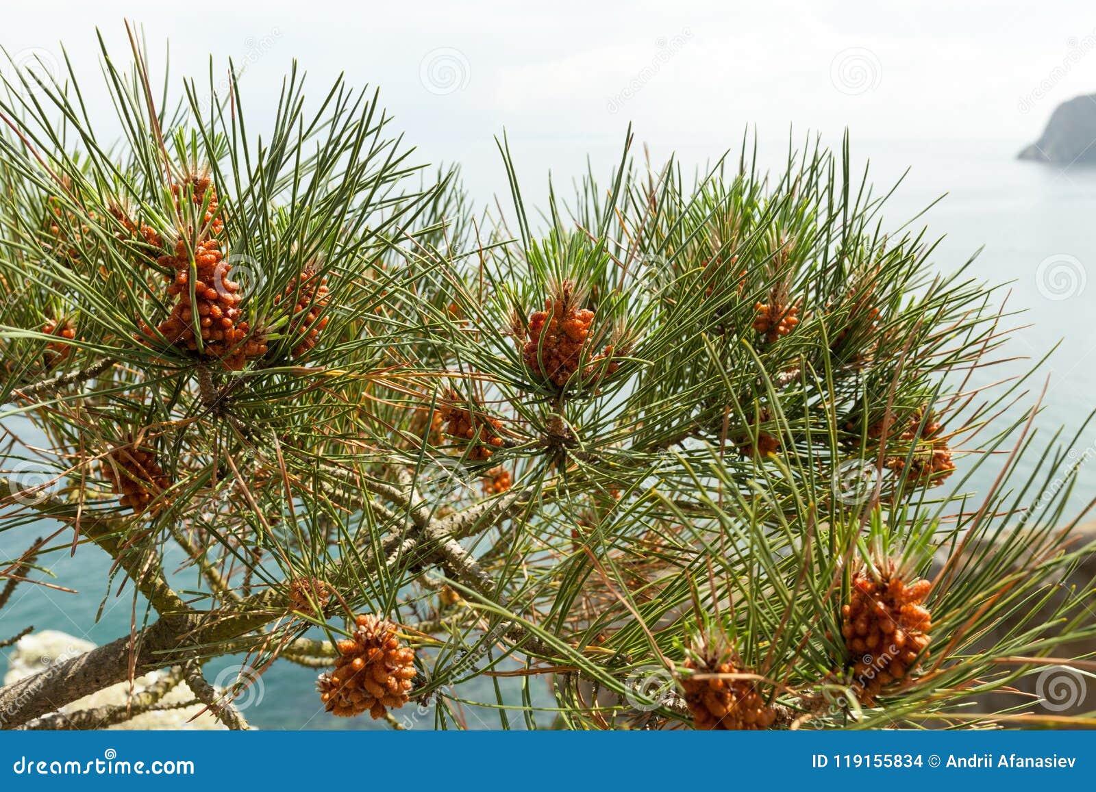 Sörja trädet med sörjer kottar på havsbakgrunden