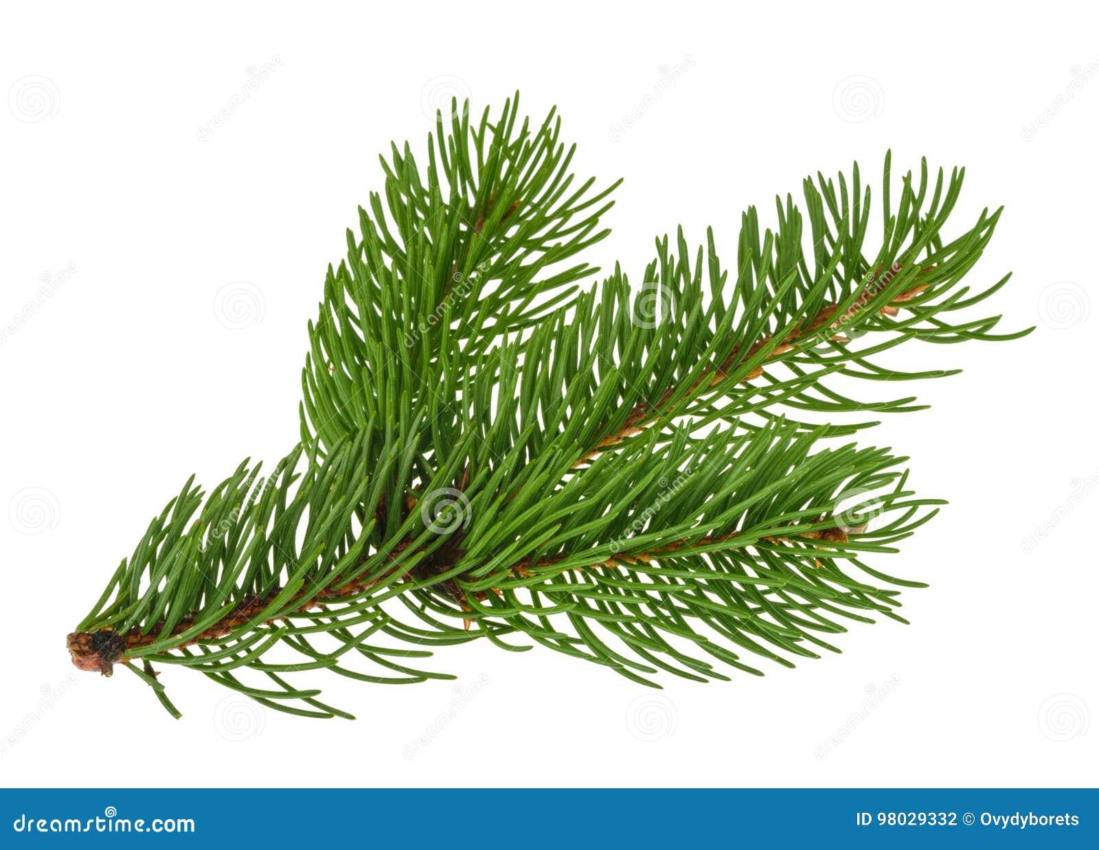 Sörja trädet som isoleras på vit utan skugga