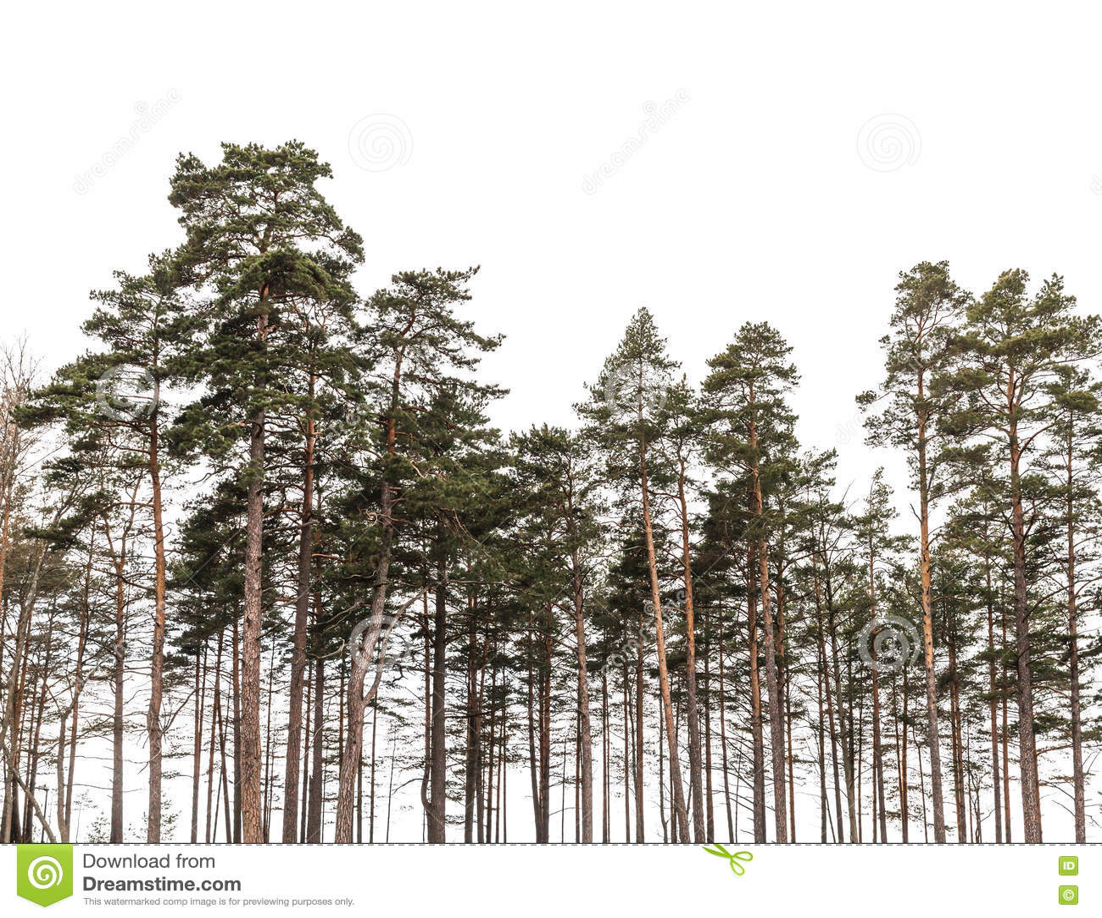 Sörja trädskogen som isoleras på vit bakgrund