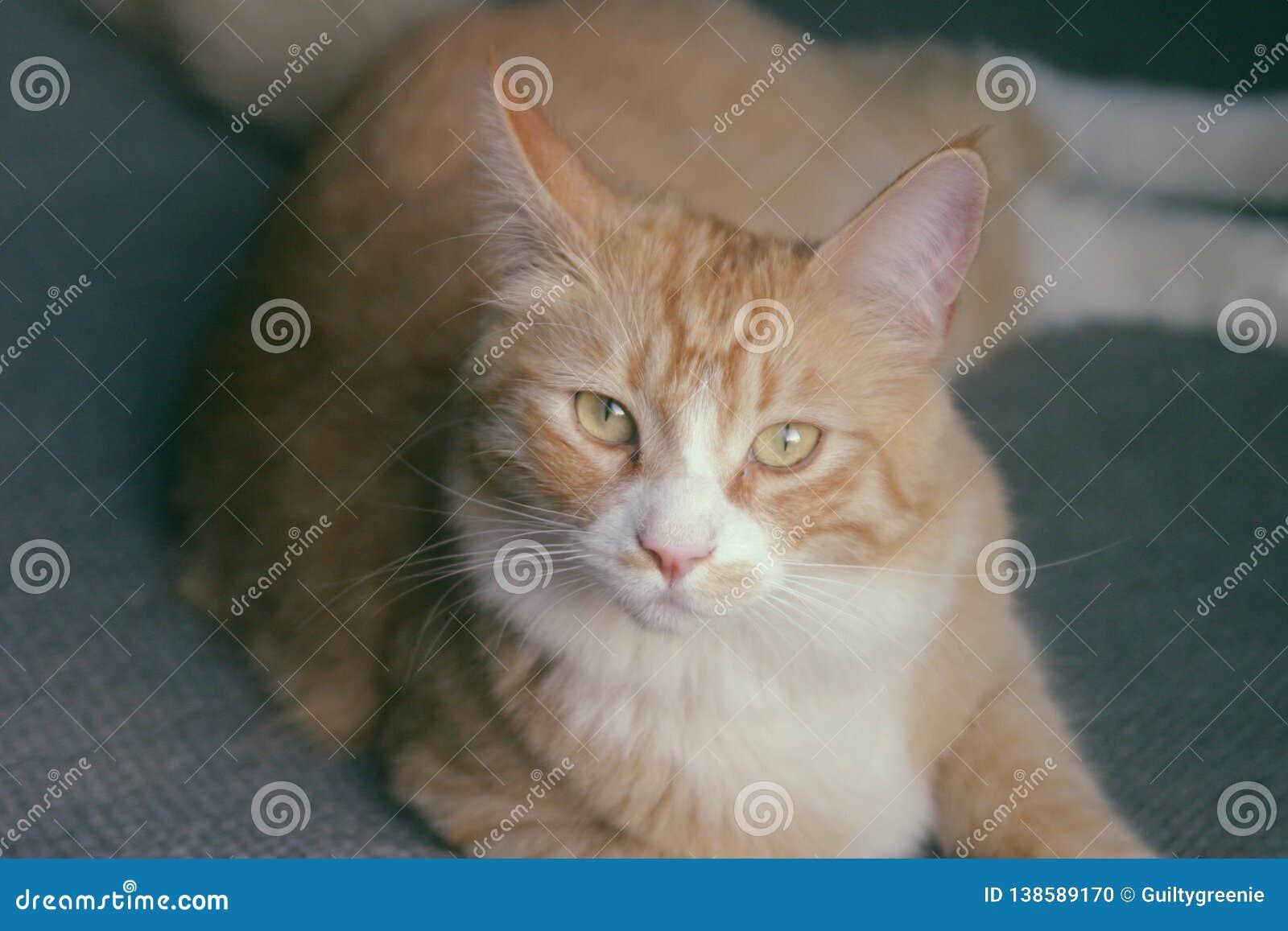 Söt apelsin Cat Named Tommy