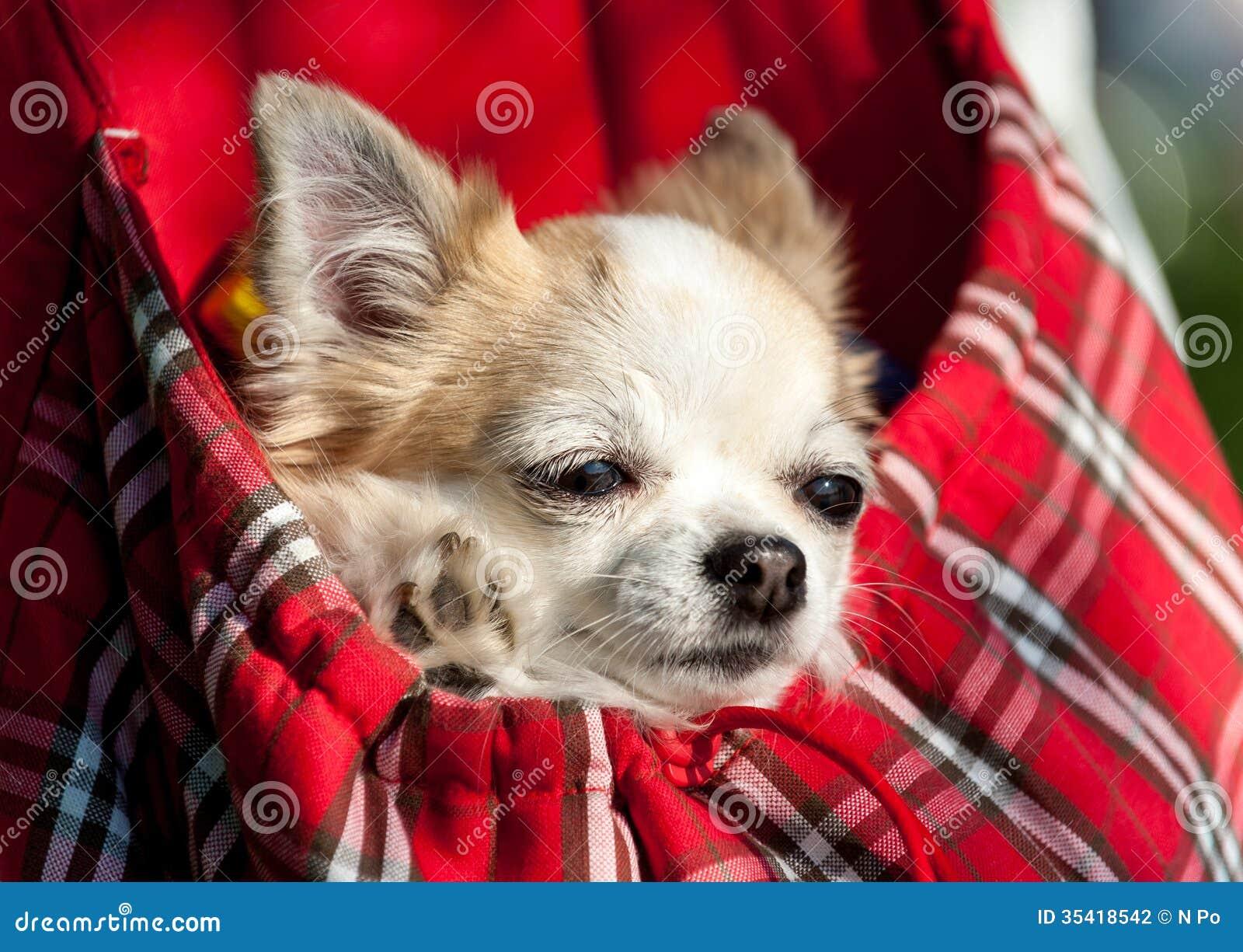 Söt chihuahuahund inom röd rutig påse