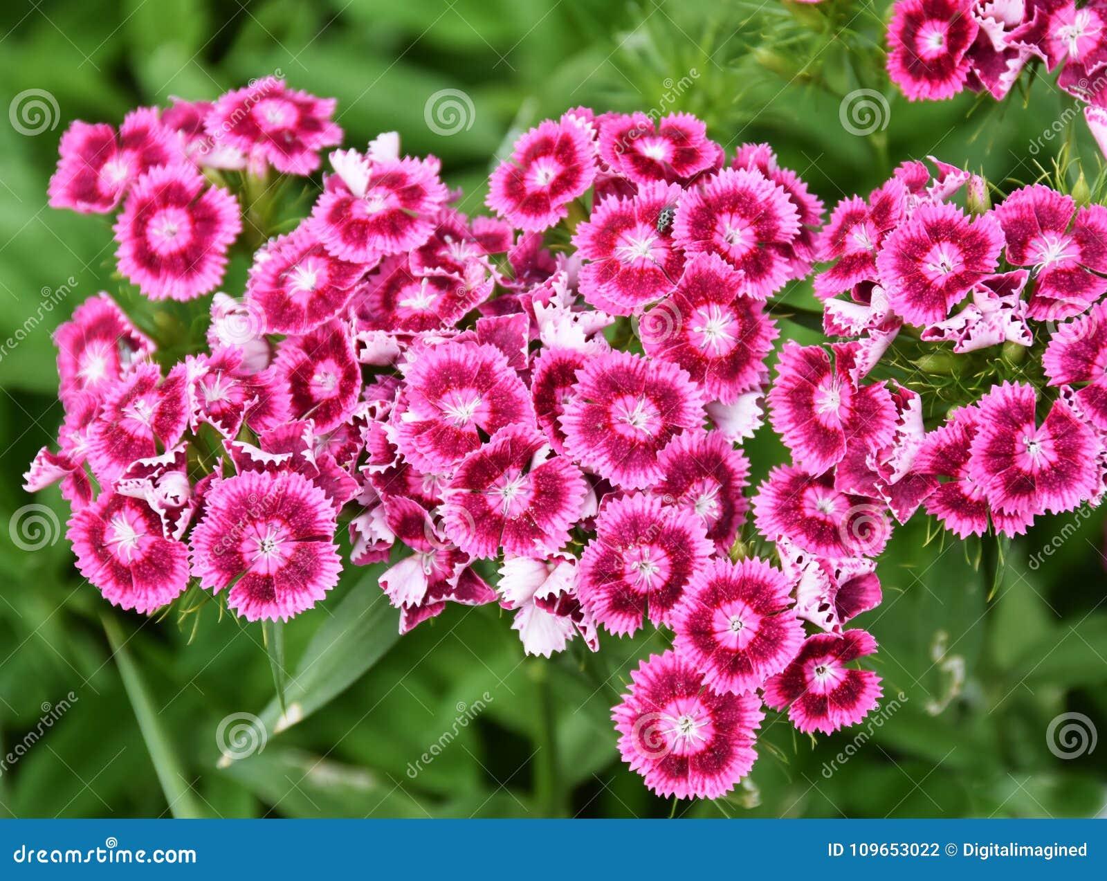 Söta William blommar Dianthusbarbatus