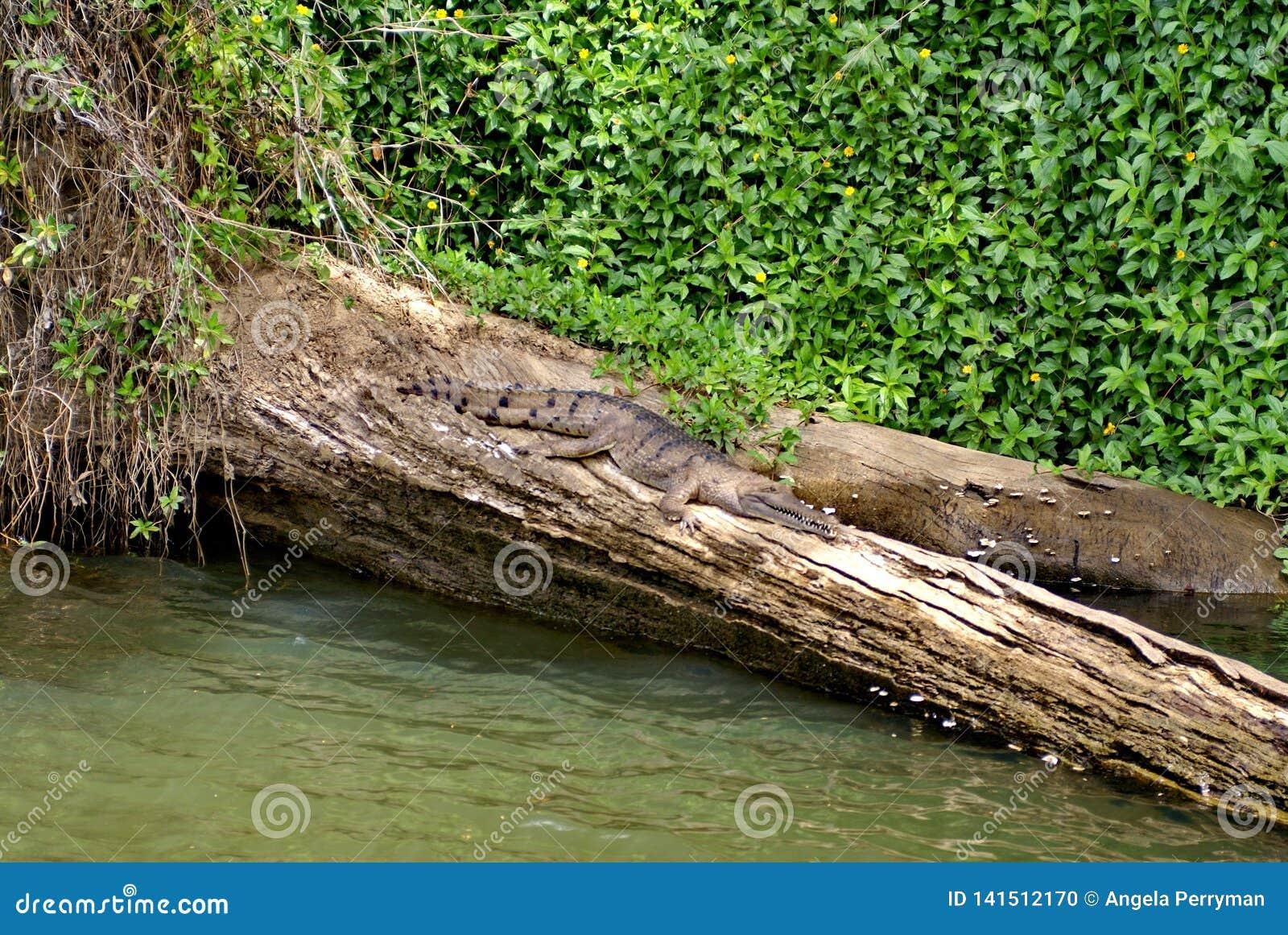 Sötvattens- krokodil i Barron River