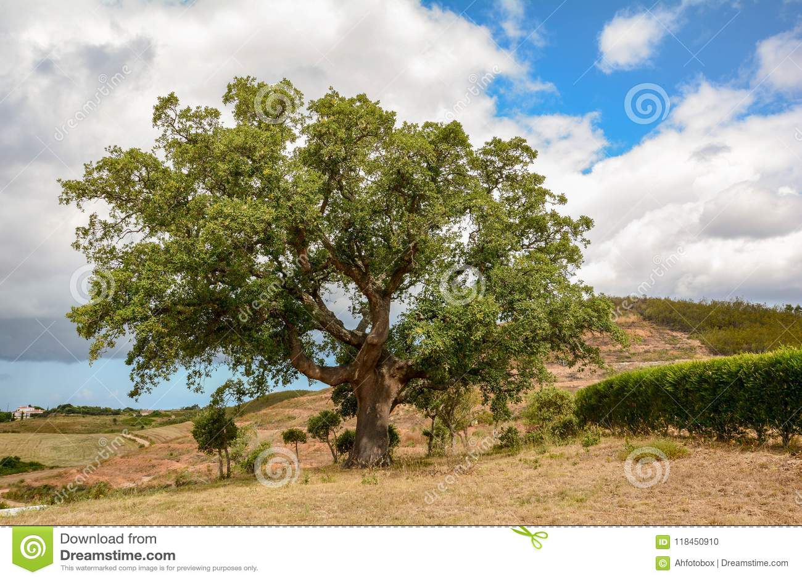 Súber viejo del quercus del roble del corcho en la luz del sol de la mañana, Alentejo Portugal Europa