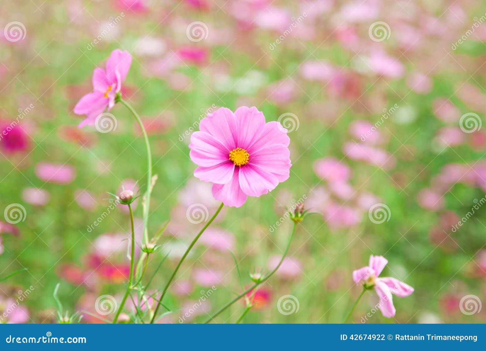 s e rosa blume stockfoto bild von nave floral unsch rfe 42674922. Black Bedroom Furniture Sets. Home Design Ideas