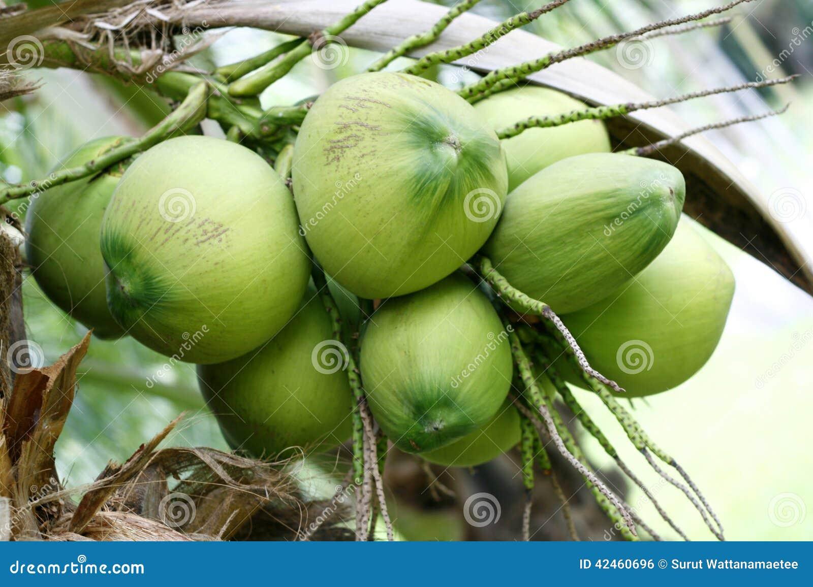 Süßer Kokosnussbaum