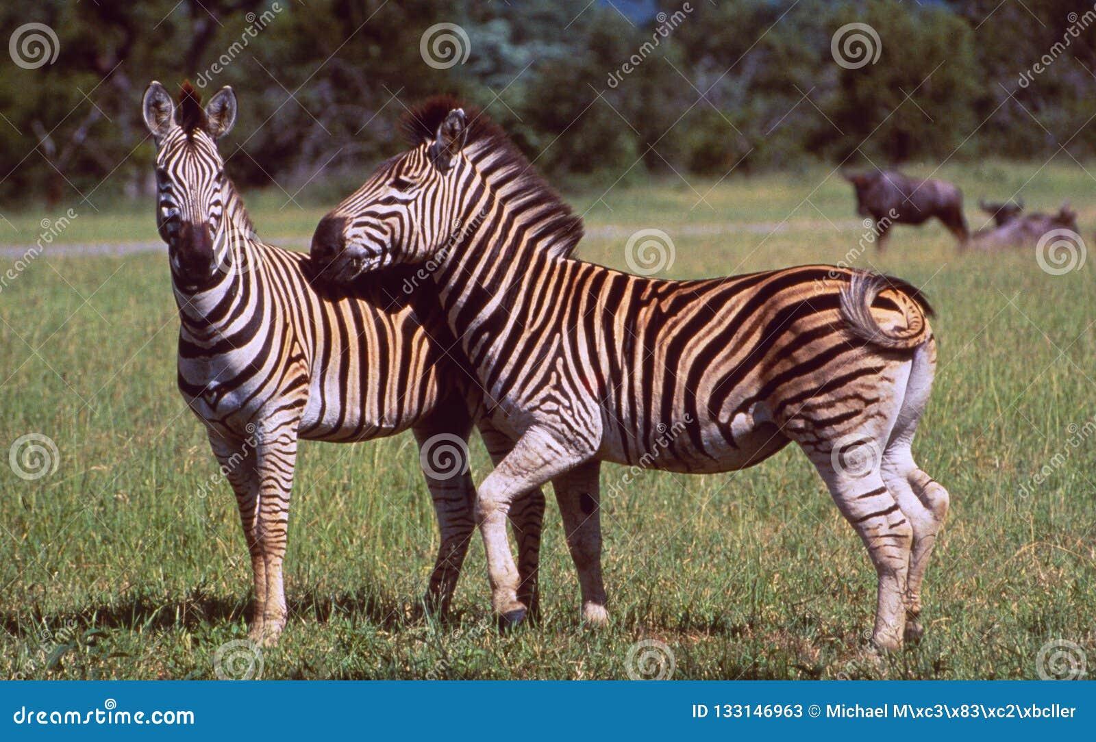 Südafrika: Zwei Zebras in der Wildnis von Hluhluwe-wild lebenden Tieren