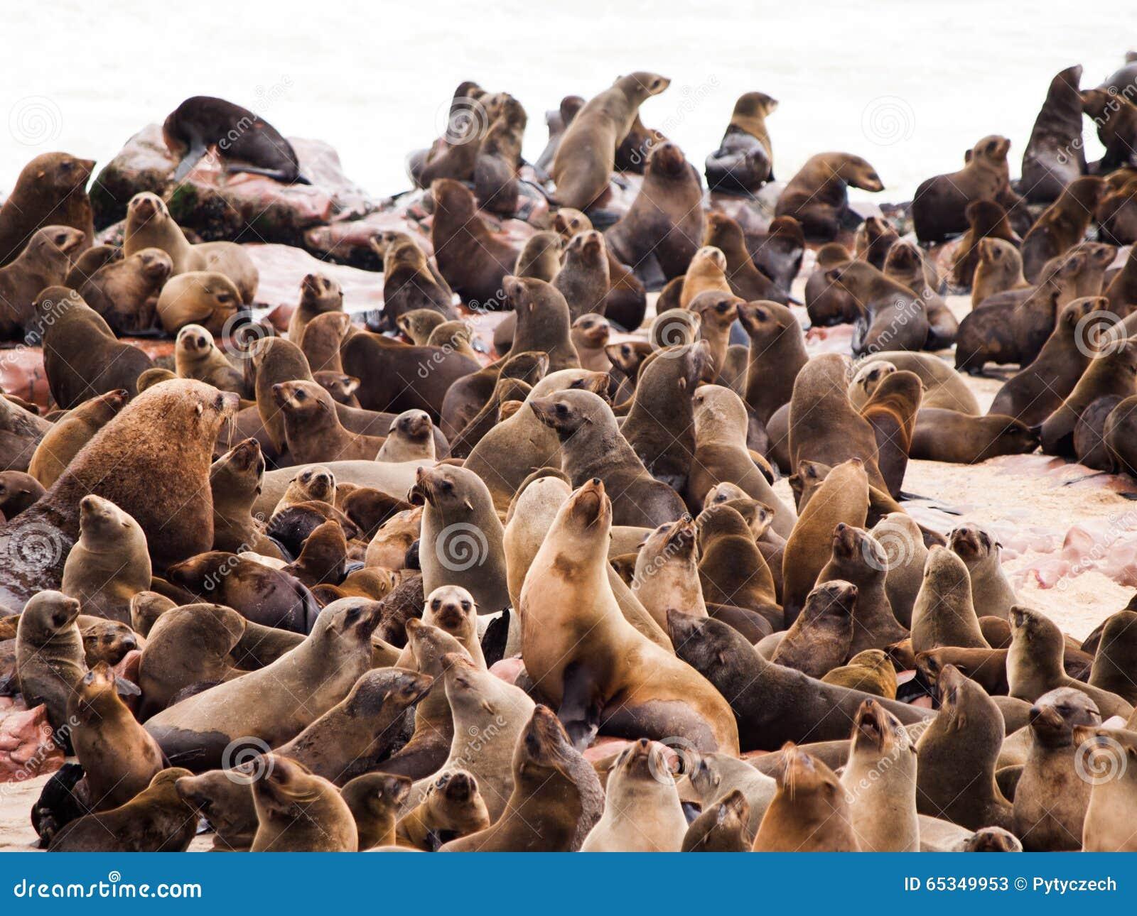 Südafrikanischer Seebär-Kolonie am Kap-Kreuz