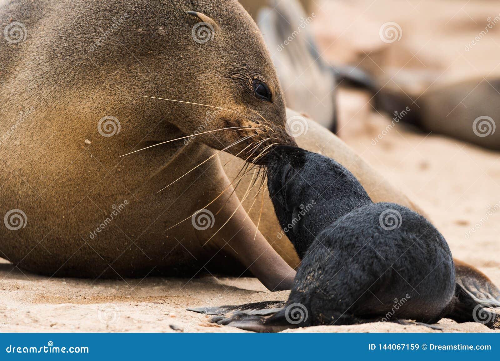 Südafrikanischer Seebär und Welpe, Namibia