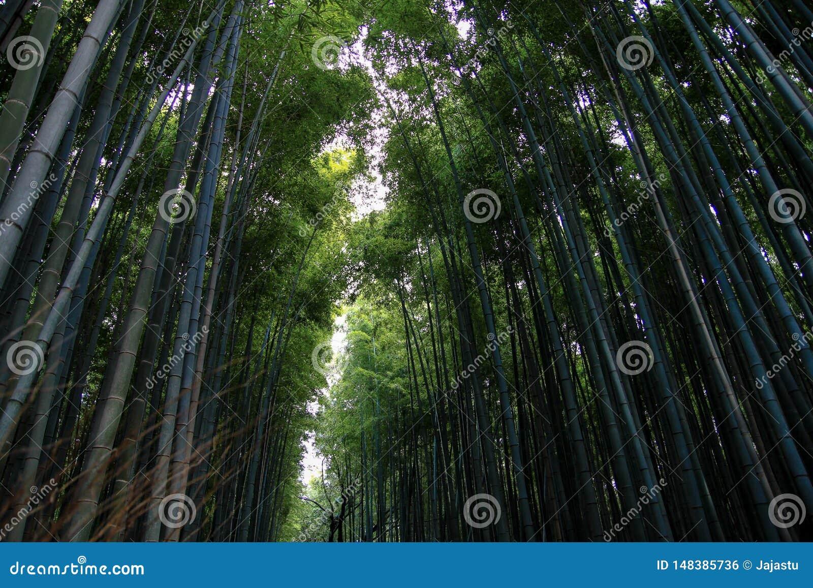 S?awny Arashiyama Bambusowy gaj, Japonia