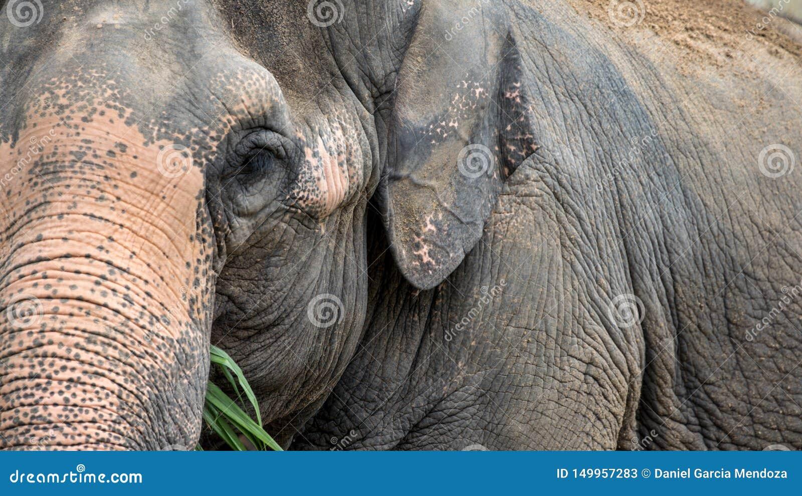 Słoń bez kła je trawy Zamyka w górę asiatic słonia je