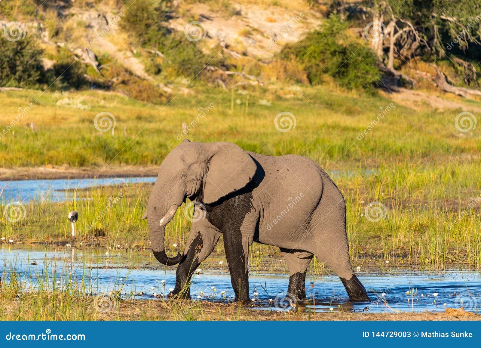 Słoń chodzi przez Boteti rzeki