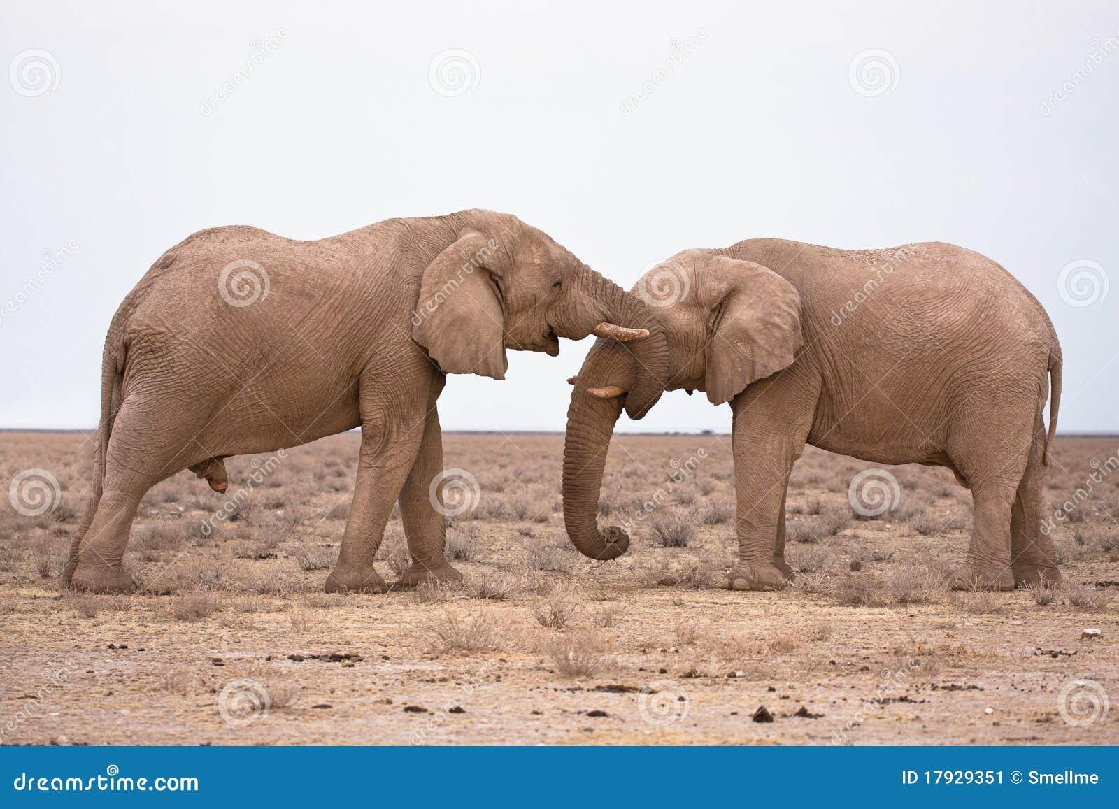 Słoń miłość
