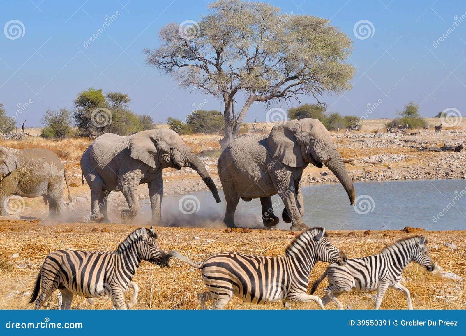Słoń sprzeczka, Etosha park narodowy, Namibia