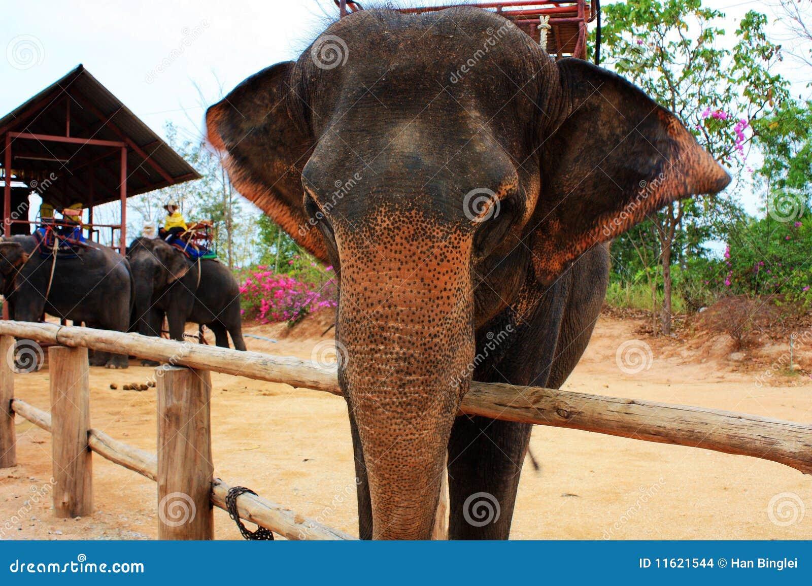 Słoń tajlandzki