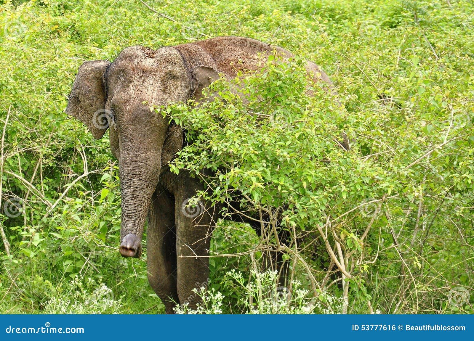 Słoń w safari India