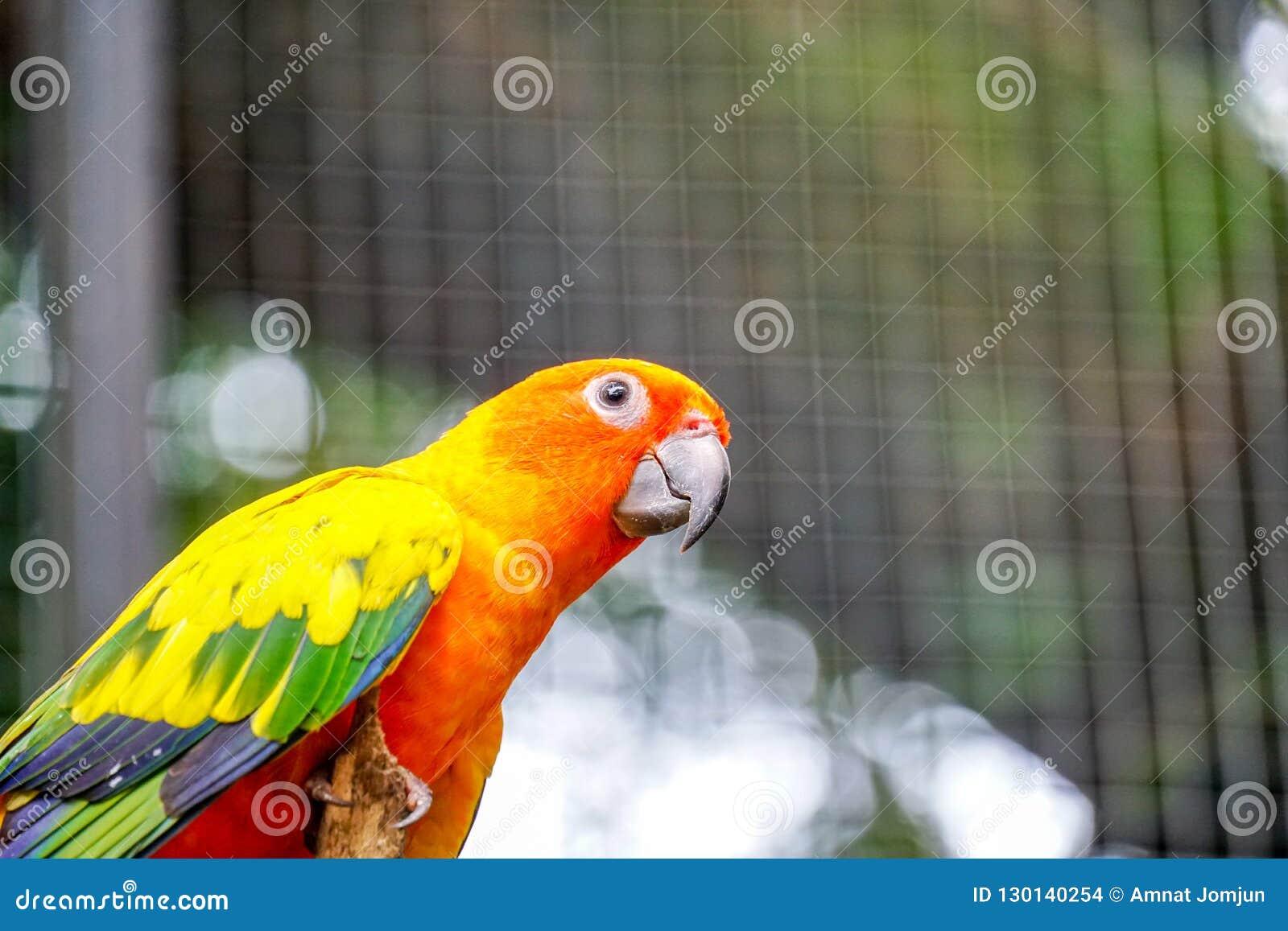 Słońca Conure papugi Piękna zwierzęca twarz Parakeet w zoo