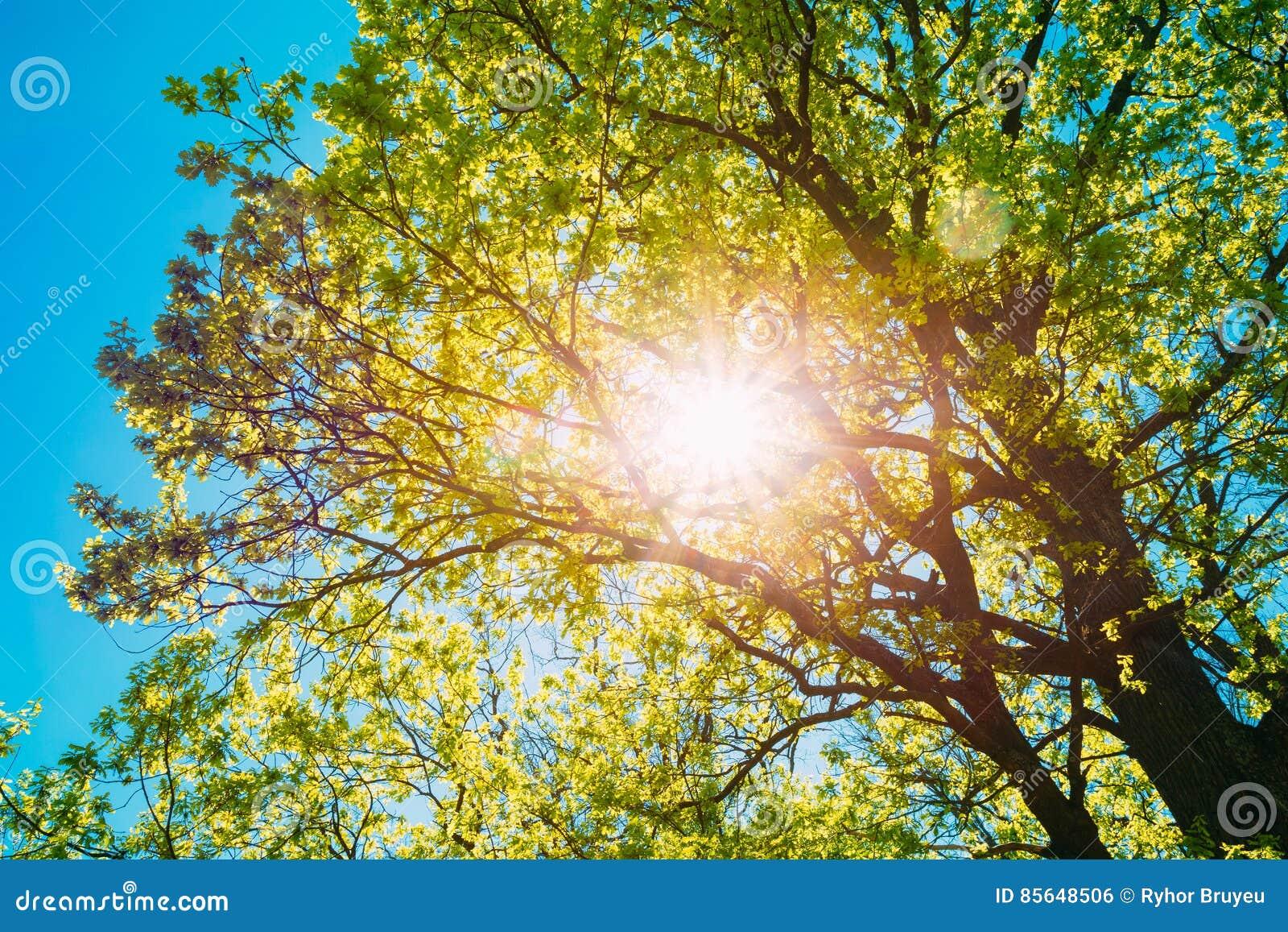 Słońca jaśnienie Przez ulistnienia Dębowego drzewa wiosny sezon decylitr