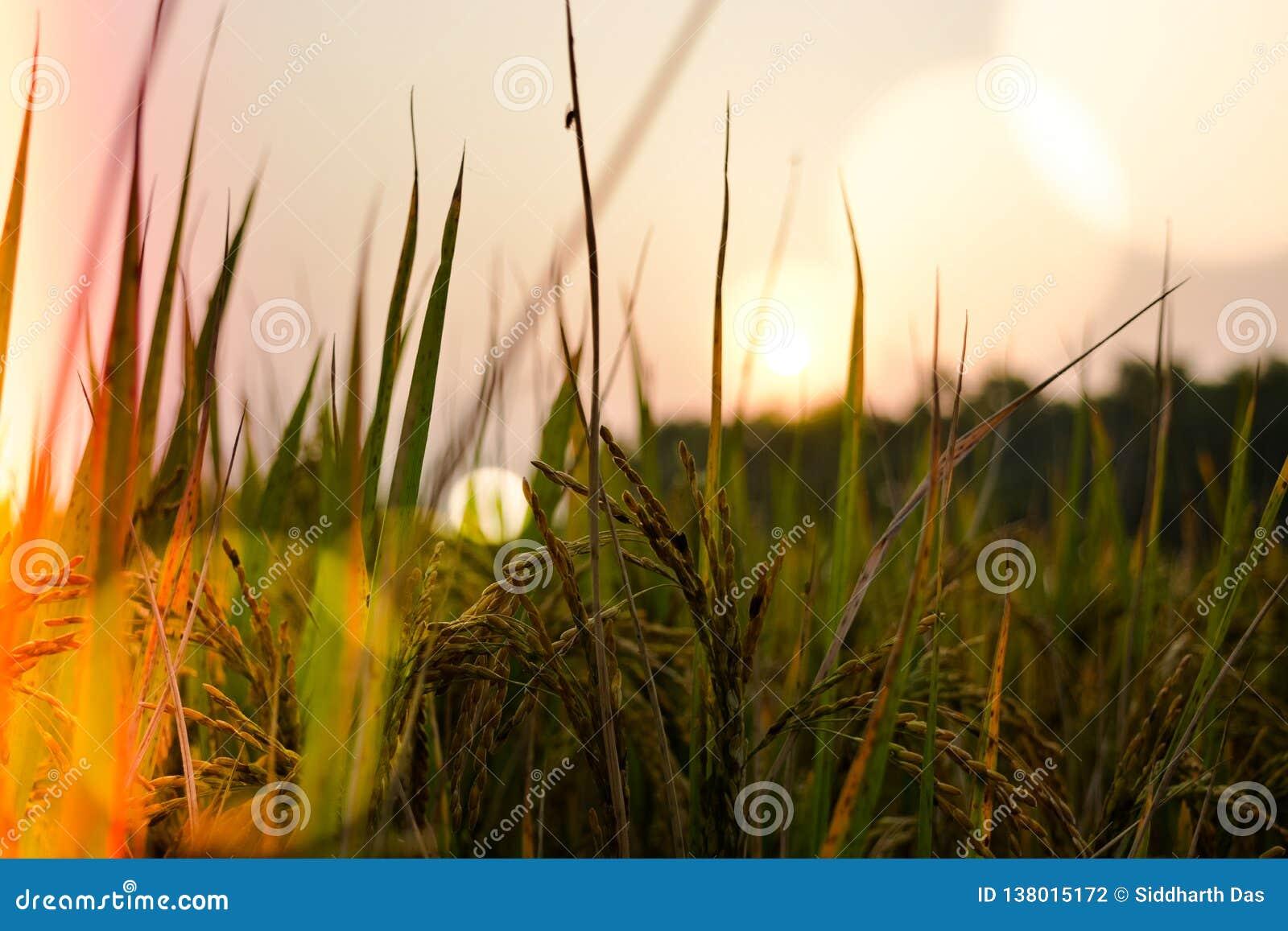 Słońca położenie za trawy i banatki gospodarstwem rolnym