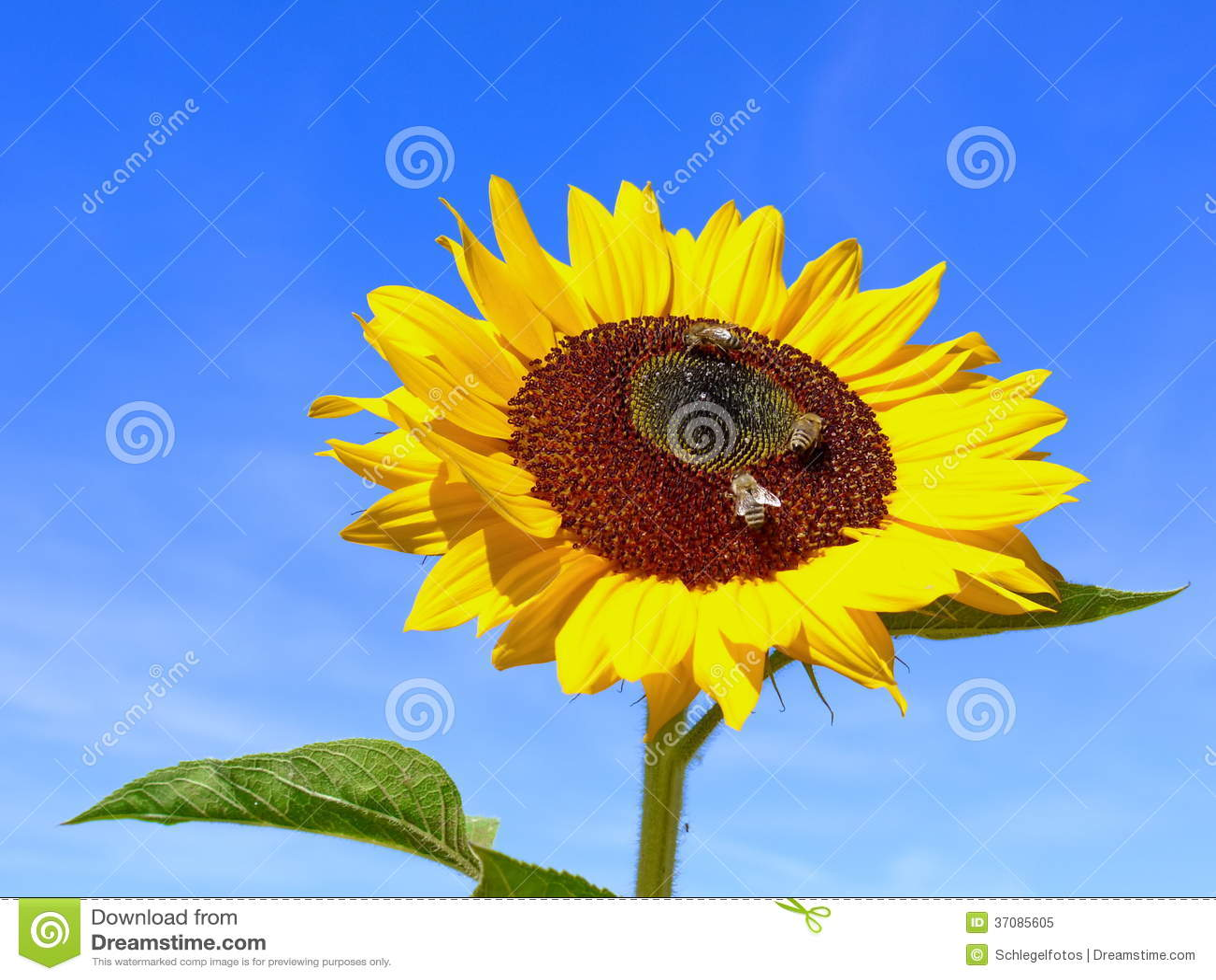 Download Słońce Kwiat Na Niebieskim Niebie Obraz Stock - Obraz złożonej z zbliżenie, słońce: 37085605