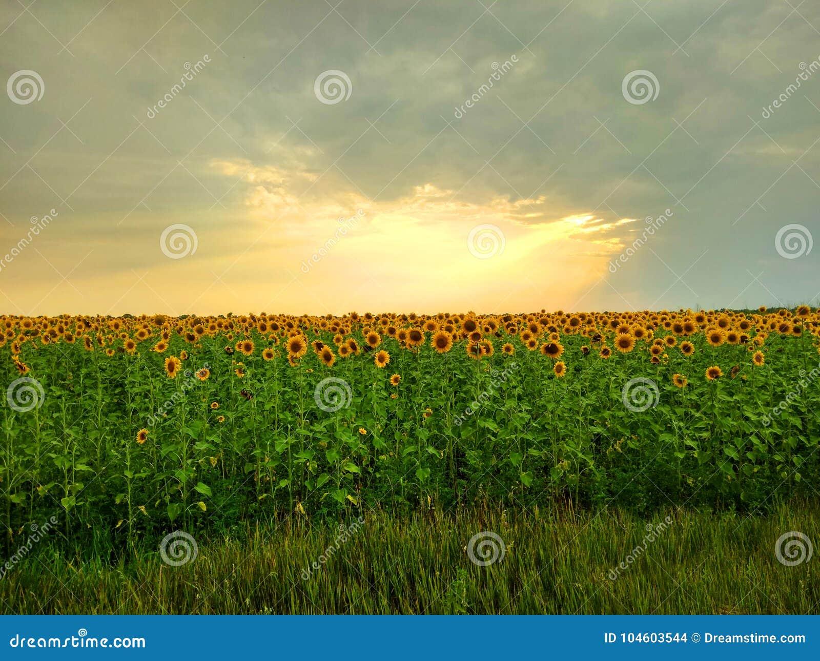 Słońce promienie ściska pole kwiaty