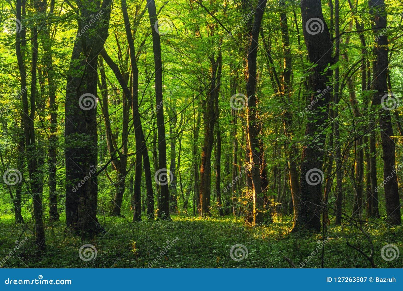 Słońce promienieje przez gęstych drzewo gałąź w zwartym zielonym lesie
