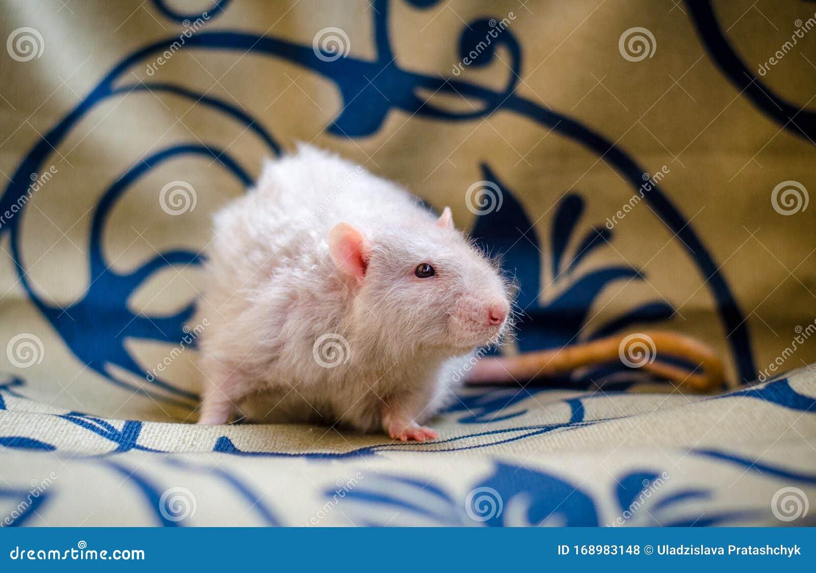 Słodki Beżowy Szczur Na Kocu Zdjęcie Stock Obraz Złożonej Z Beżowy Szczur 168983148