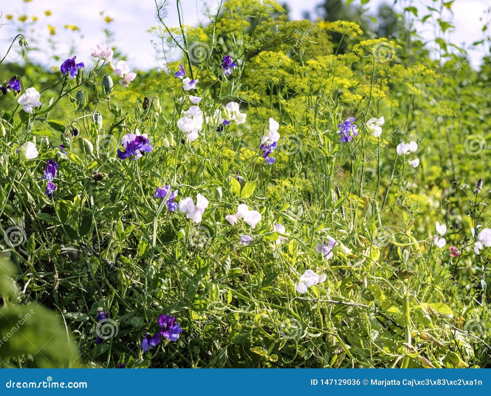 Słodkich grochów Lathyrus odoratus dorośnięcie w ogródzie z koperkowymi Anethum graveolens
