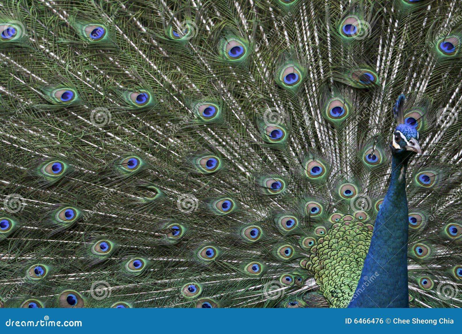 Słodkie ptaka paw