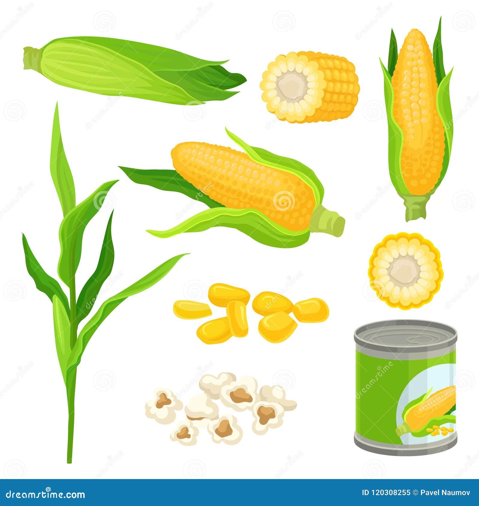 Słodkiej kukurudzy set, świezi kaczany, popkorn, konserwował kukurydzane wektorowe ilustracje na białym tle