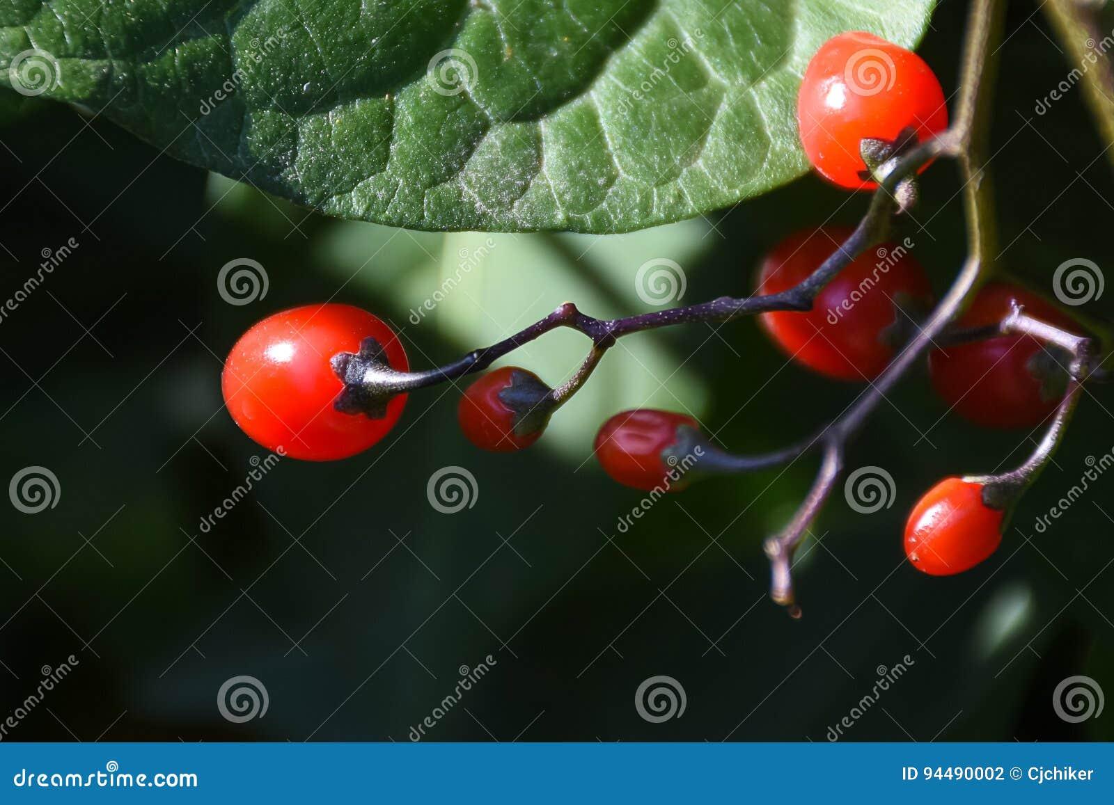 Słodkogórzkiej koraliny Solanum dulcamara jagody