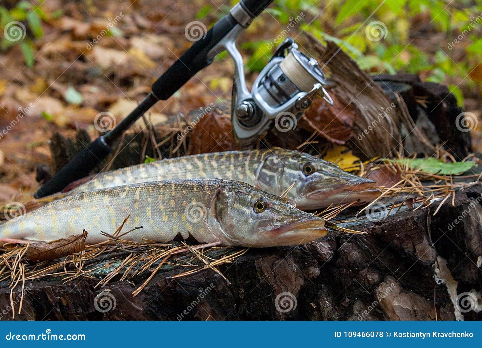 Słodkowodna szczupak ryba kłama na drewnianym konopie i połowu prąciu z