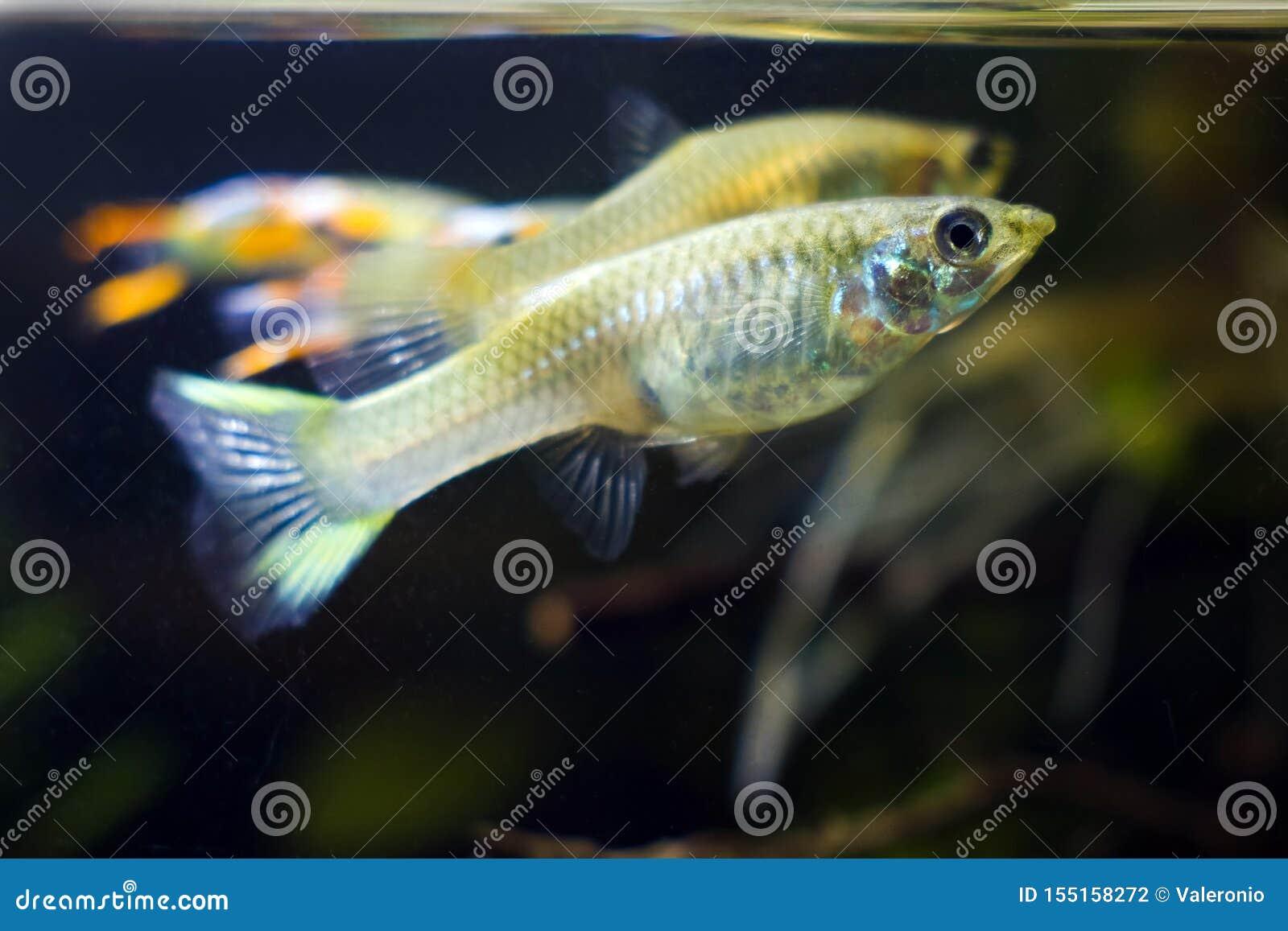 Słodkowodny akwarium karła ryby Guppy endler, Poecilia wingei, nieletnia kobieta na ciemnym tle