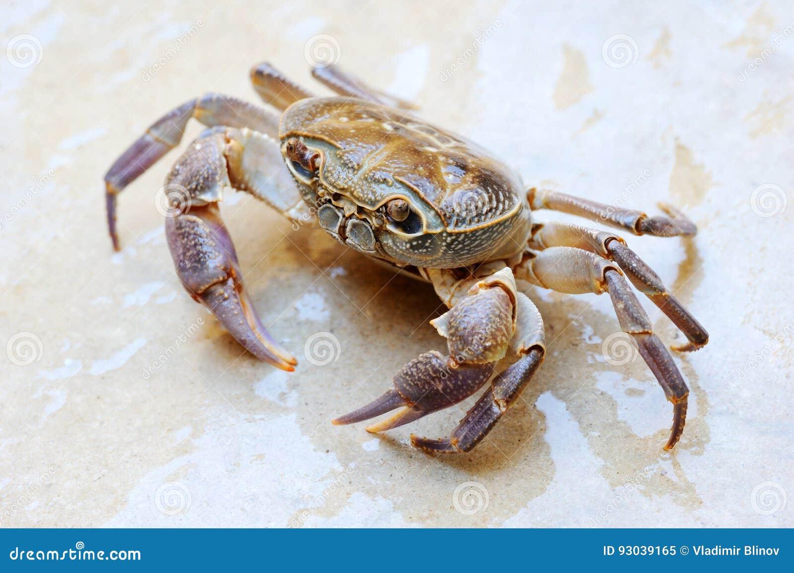 Słodkowodny gruntowy krab