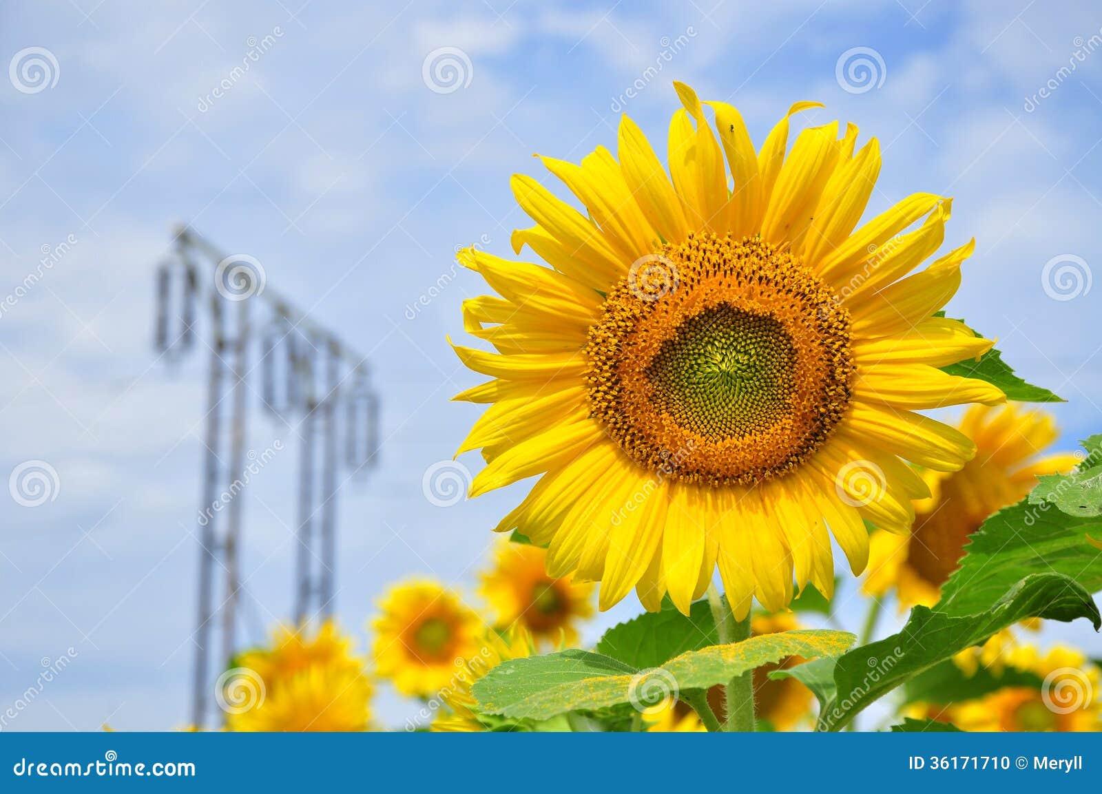 Słonecznik, ekologia, środowisko