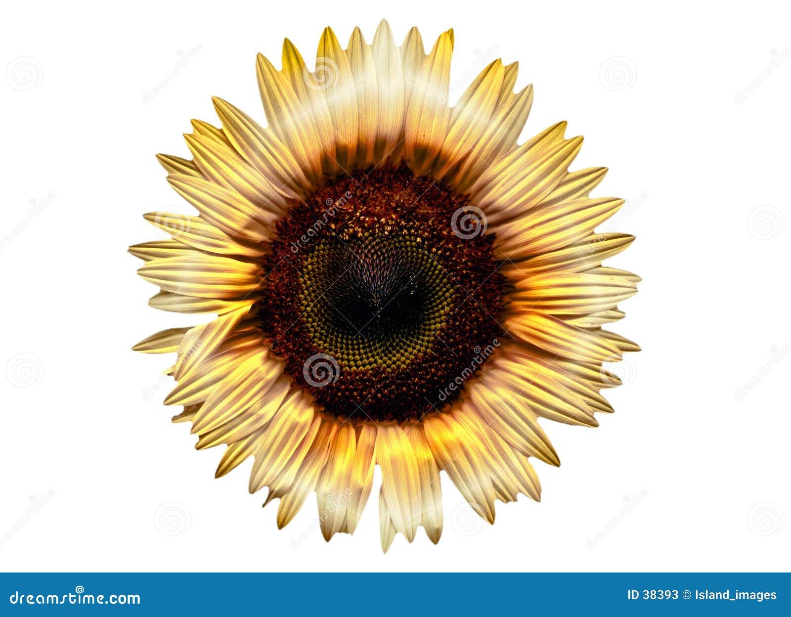 Słonecznik elektryczne