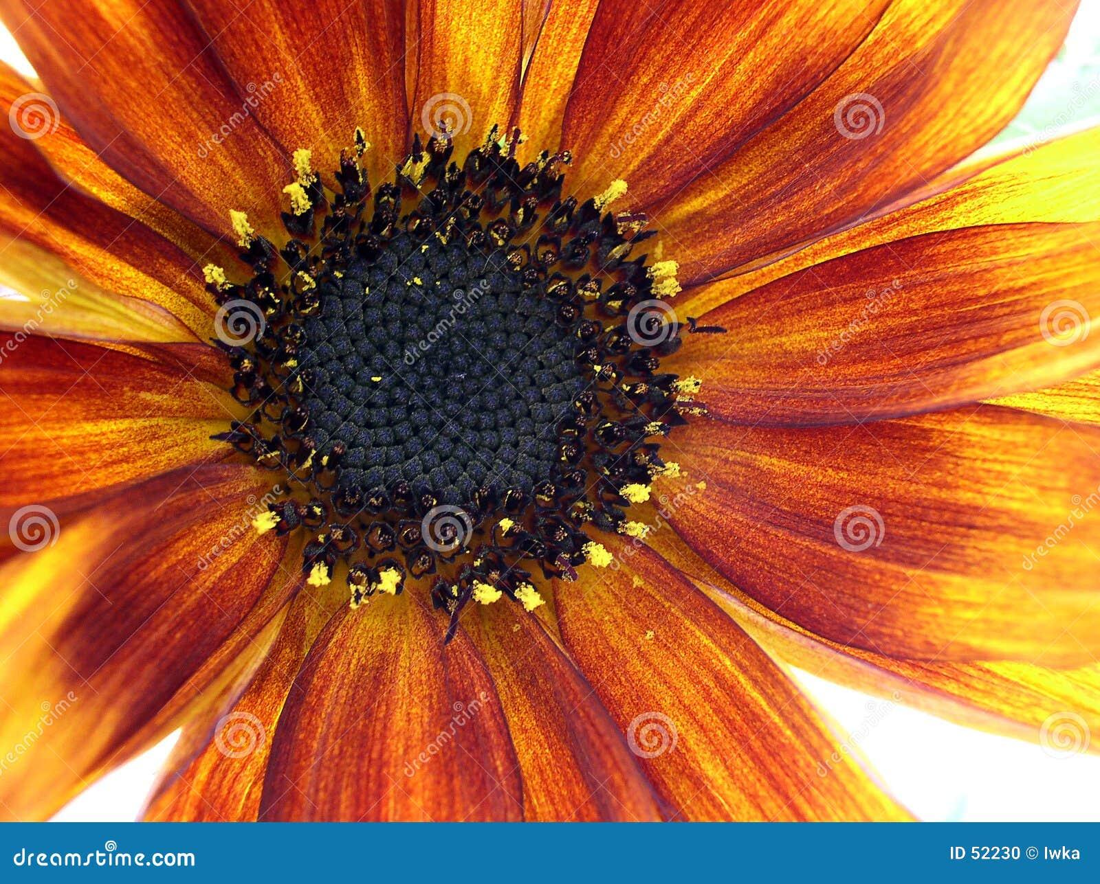 Słonecznik makro
