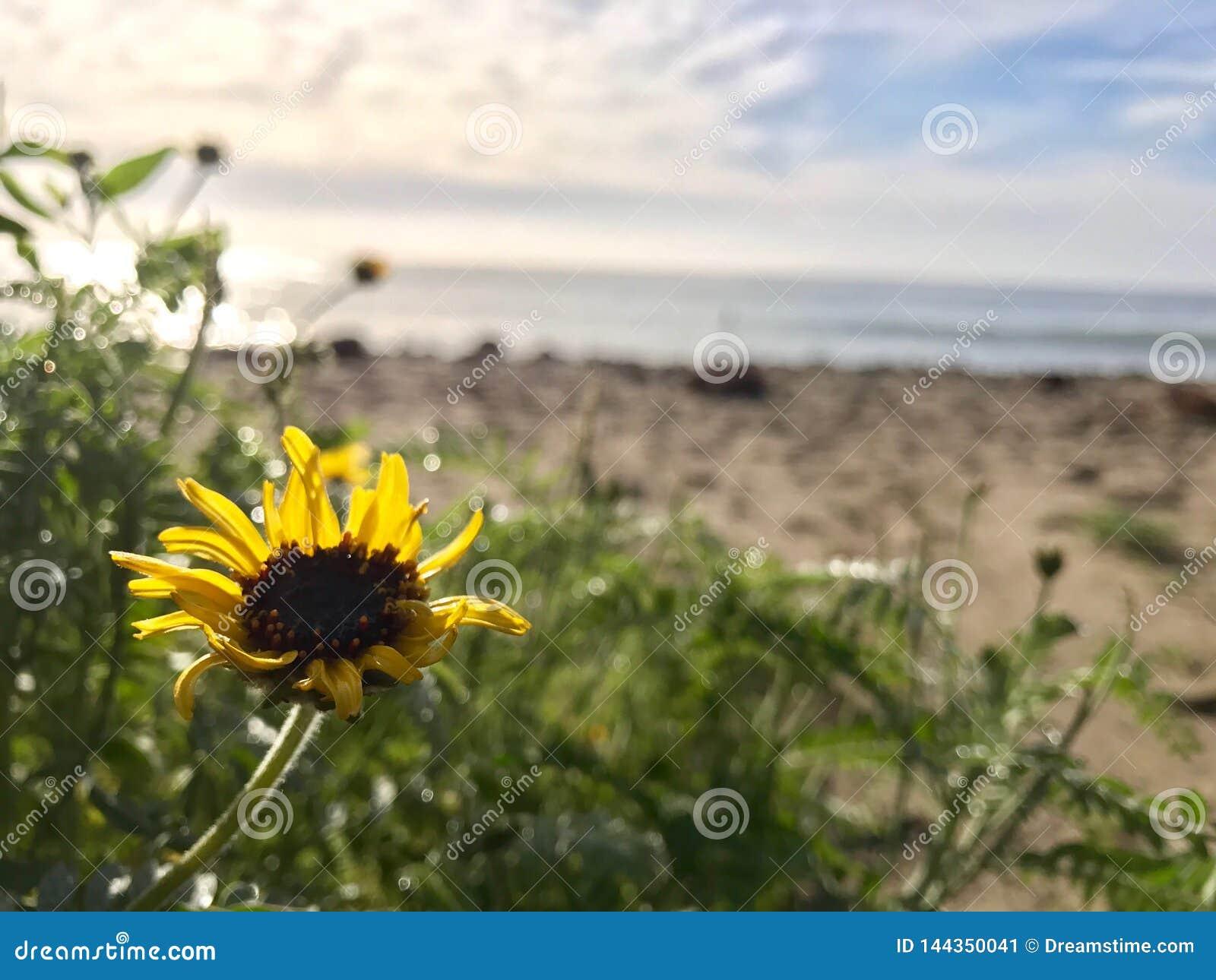 Słonecznik na plaży w Malibu