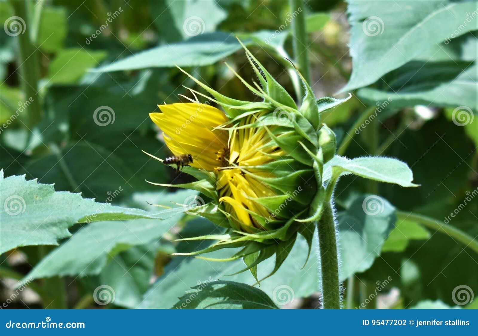 Słonecznik pszczoła